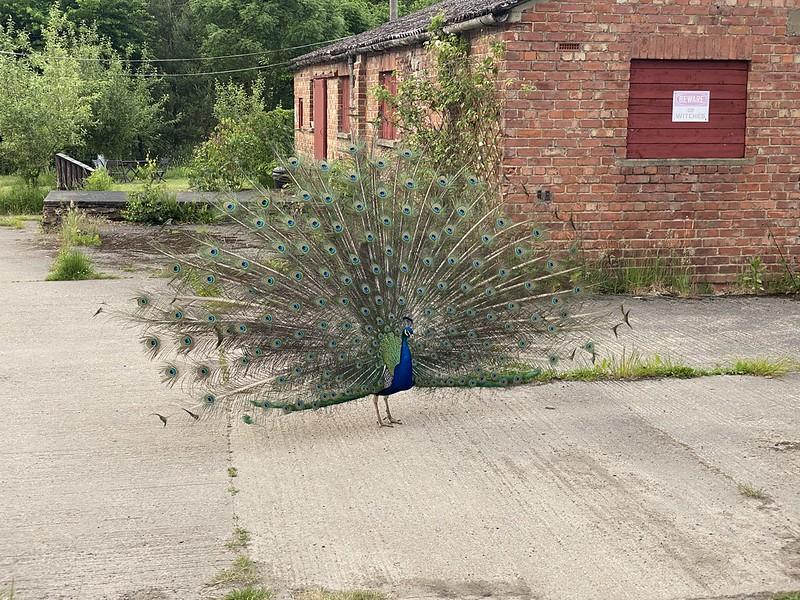 Noisy Peacock