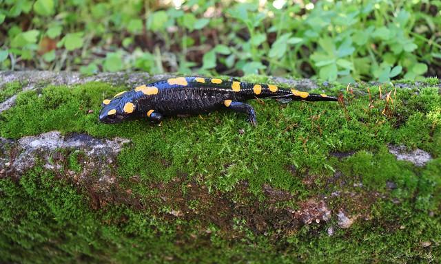 Salamander with orange dots. Ph. by #WhiteANGEL