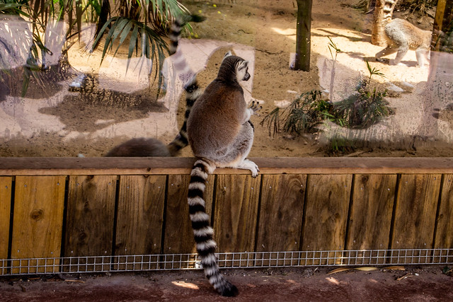2021 - 06 - 19 - EOS 600D - Lemur - Chester Zoo - 000