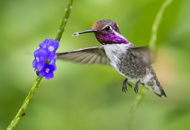 Dirty beak. Costa's Hummingbird nectaring on Porterweed. Wings of the Tropics, Fairchild Tropical Botanic Garden.