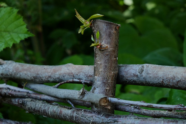 Sprouting Cherry fenceposts.