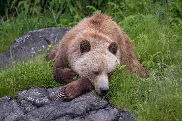 Grizzly Bear (Ursus arctos horribilis)  Knight Inlet, BC