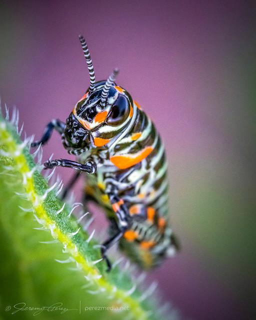 25 May 2021 — North of Englewood, Kansas — Rainbow Grasshopper
