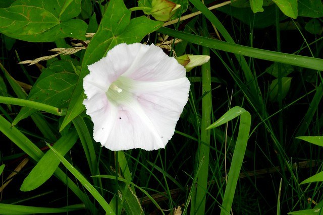 Wild White Morning Glory at Long Point, Ontario