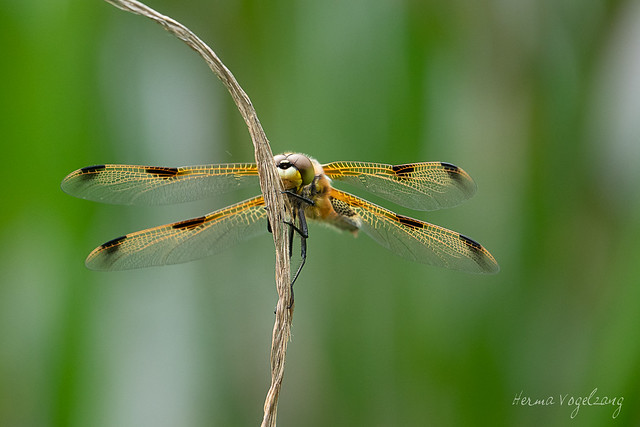 Libelle/ dragonfly