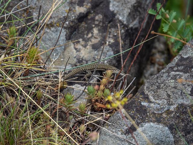 French Reptilian