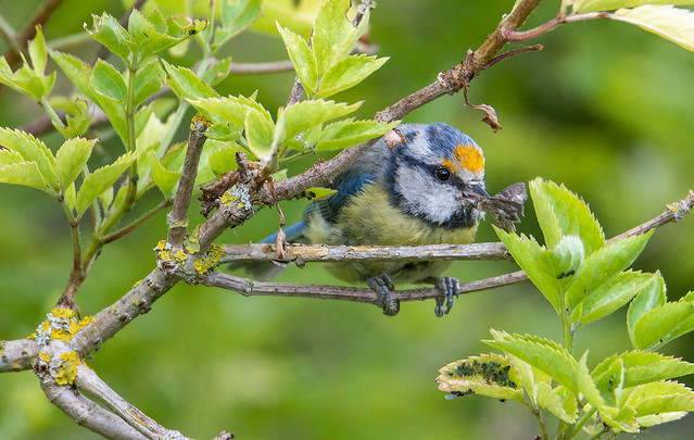 This Blue Tit has a pollen stain on its forehead -and has just caught lunch