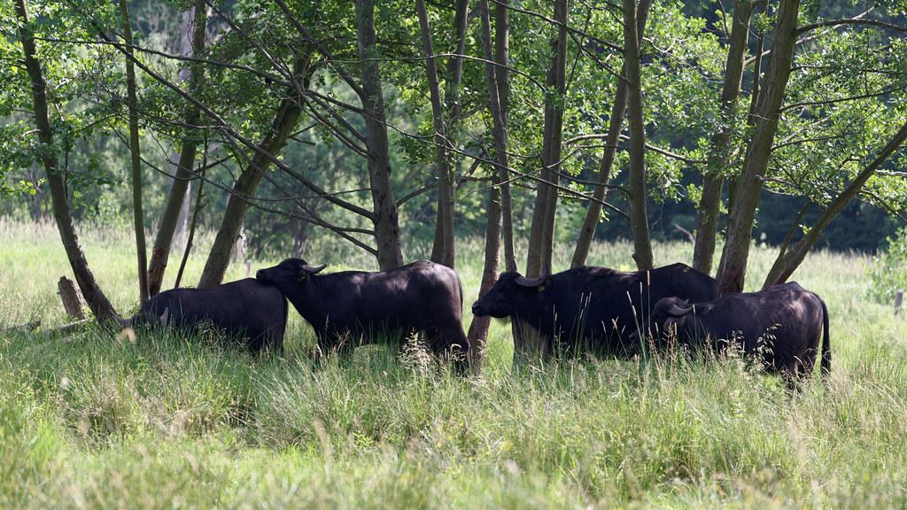 Eine Herde Wasserbüffel