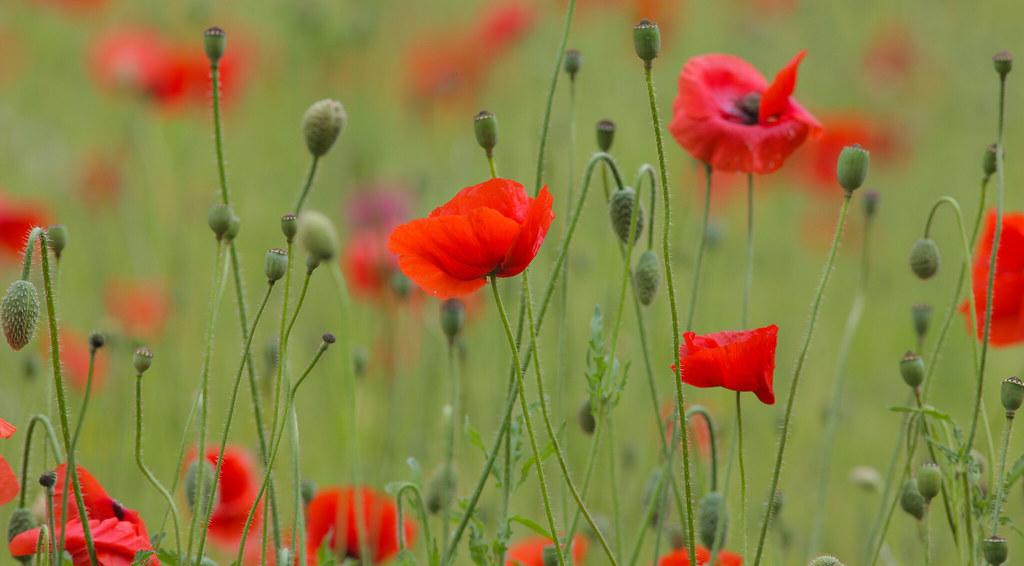 Common Poppy's @ SE22