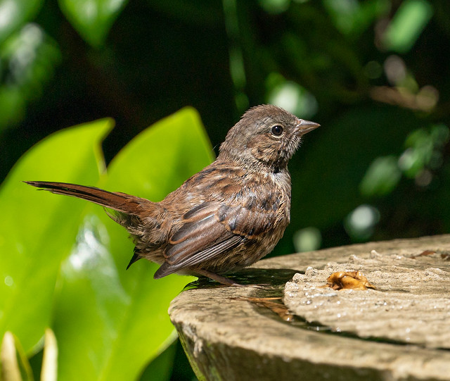 I'm thinking a newbie song sparrow enjoying bath and drink in the heat.