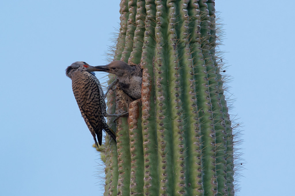 A male gilded flicker regurgitates food into the mouth of a hungry nestling shortly after sunset at George Doc Cavalliere Park in Scottsdale, Arizona on May 31, 2021. Original: _RAC2500.arw
