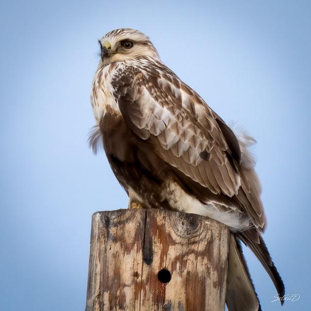 Rough-legged Hawk (Light Morph), Tule Lake NWR