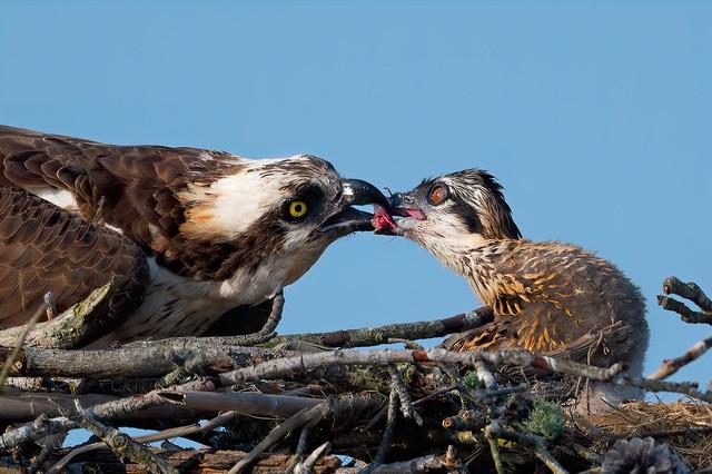 Osprey Feeding Chick