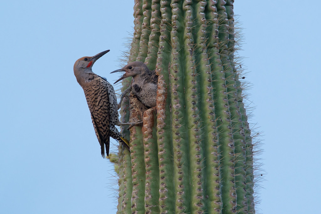 A male gilded flicker prepares to feed a hungry nestling shortly after sunset at George Doc Cavalliere Park in Scottsdale, Arizona on May 31, 2021. Original: _RAC2048.arw
