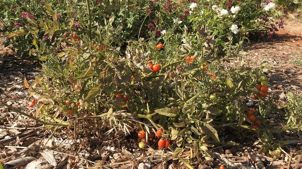 Куст помидор в розах