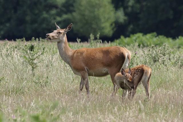 Red Deer - Cervus elaphus