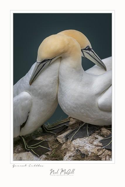 Gannet Cuddles-1440-2