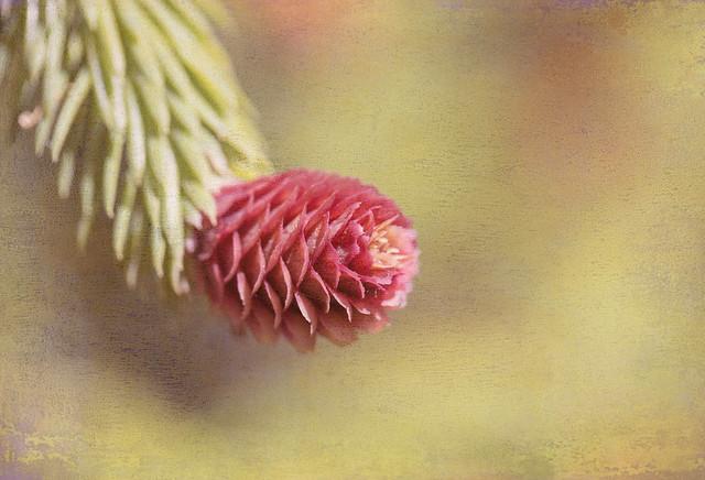 Pink cone  (HSS)