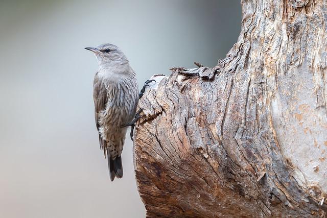 Brown Treecreeper - Climacteris picumnus