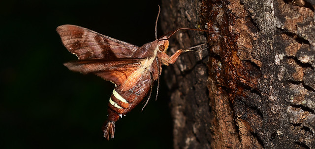 A Sensational Summer Solstice~ Nessus Sphinx Moth (Amphion floridensis)