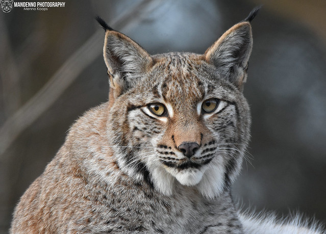Eurasian lynx - Wildpark Anholter Schweiz