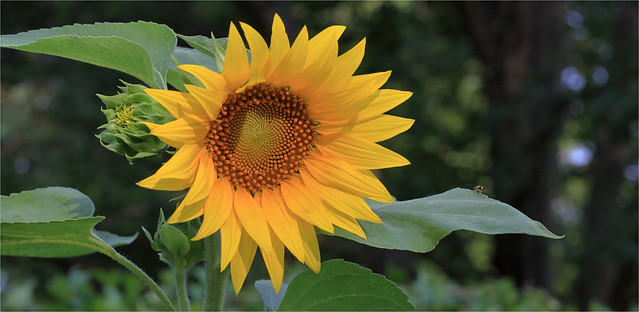 Sunflower And Hoverfly