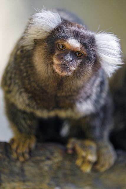 Inquisitive marmoset...