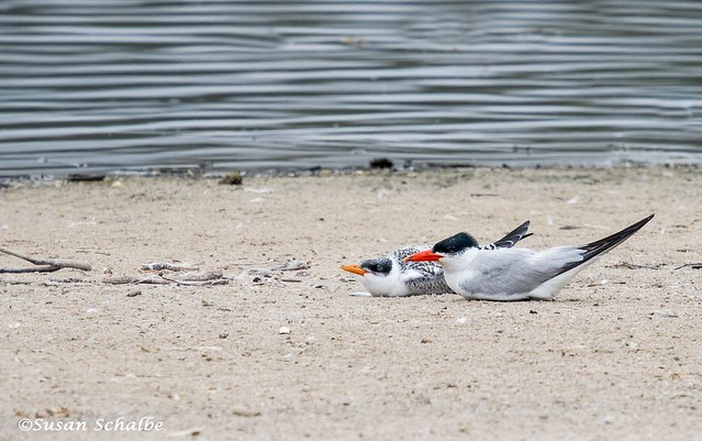 Lounging terns