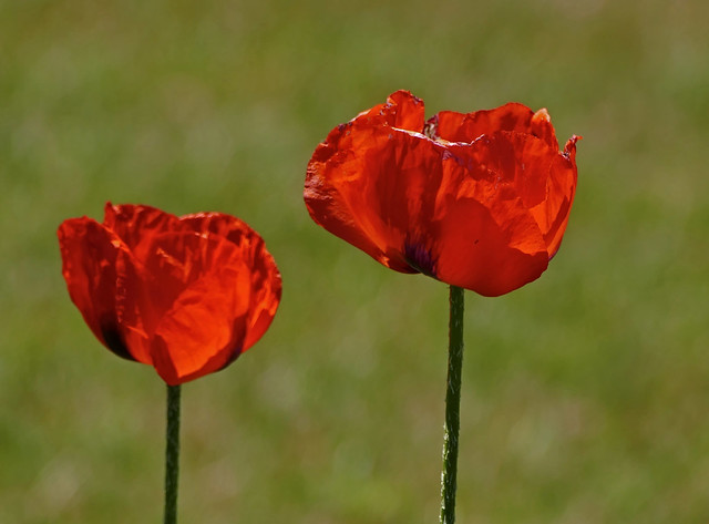 Last Call For Poppies