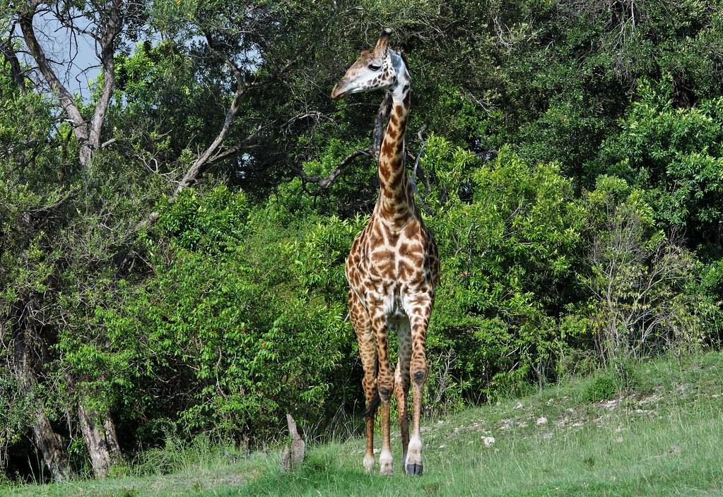 International Giraffe Day Every June 21st