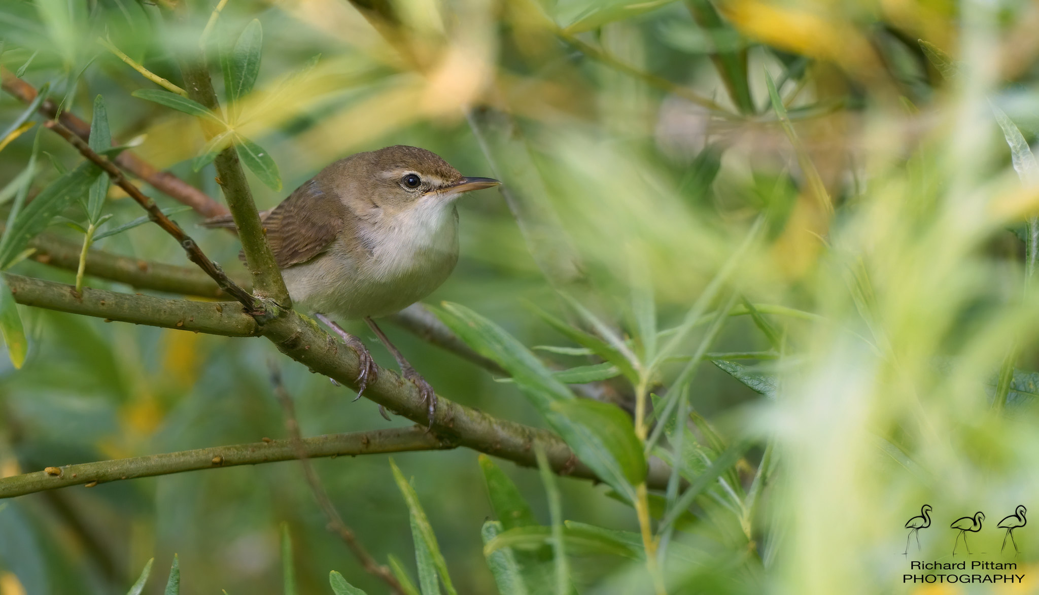 Blyth's Reed Warbler - not much for 11 miles of walking...