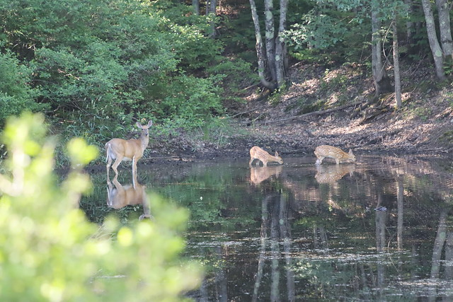 doe_and_two_fawns