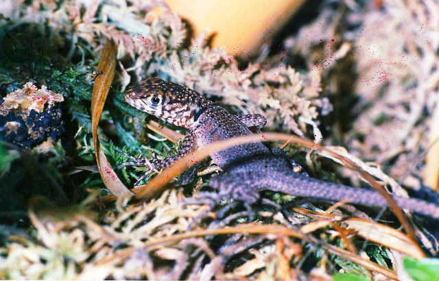 scan of old slides from approx. 1990:  female hatchling of Tropidurus melanopleurus pictus, the black lava lizard from southern Bolivia and northern Argentina. See the dorsolateral rows of reddish blotches and the smooth back, typical for a little female.