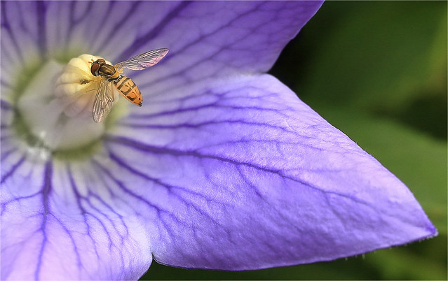 Hoverfly And Balloon Flower