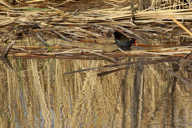 Common Gallinule.  Bosque del Apache National Wildlife Refuge, New Mexico, USA.