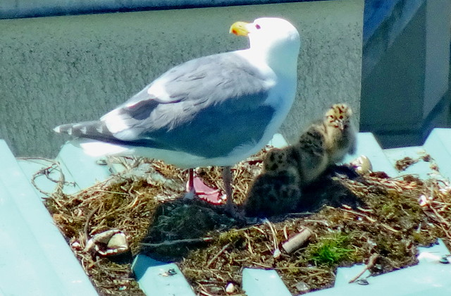Series: Glaucous-winged Gull & her 3 new chicks (+7)