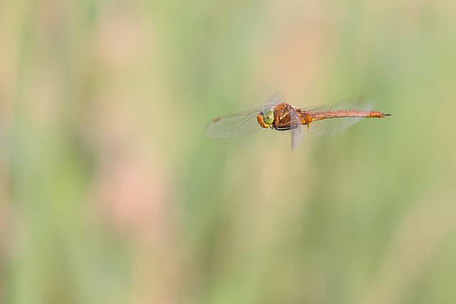 Green-eyed Hawker on patrol