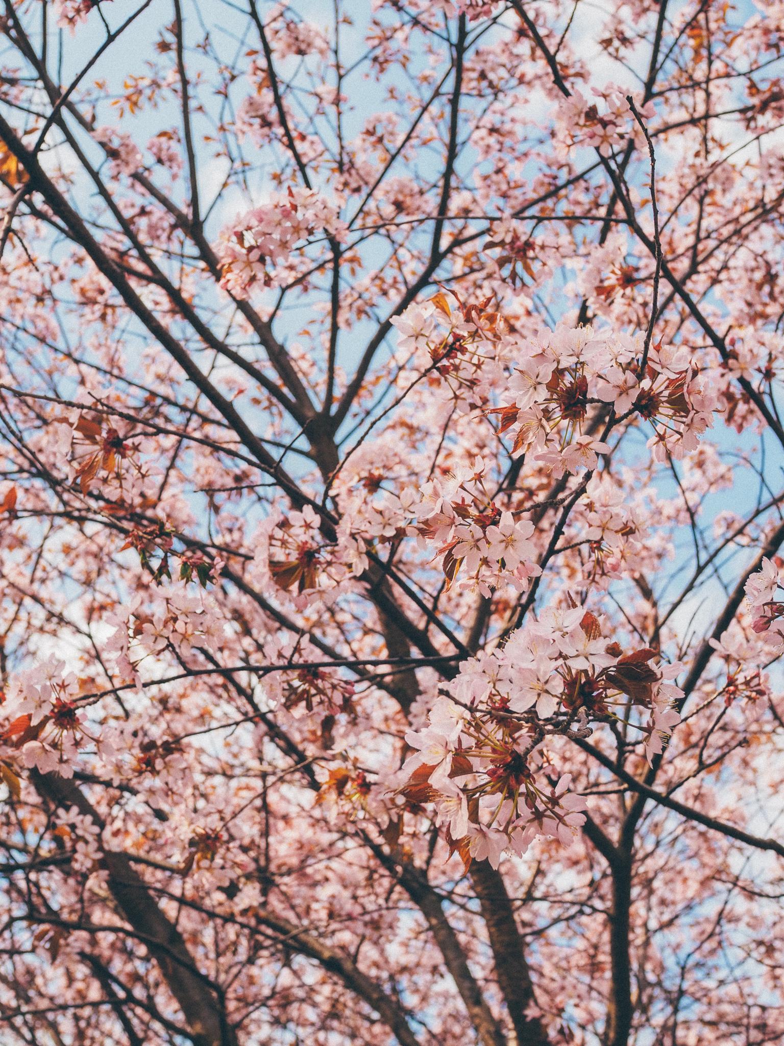 kirsikankukka5