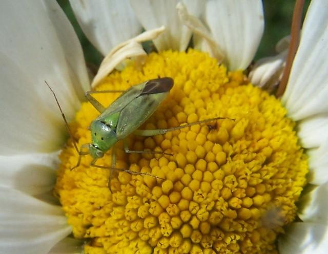 Lygocoris pabulinus Common Green Capsid