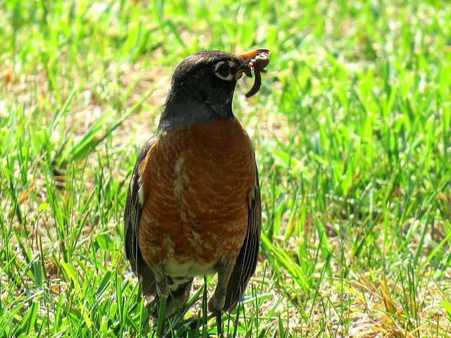 North American Robin.