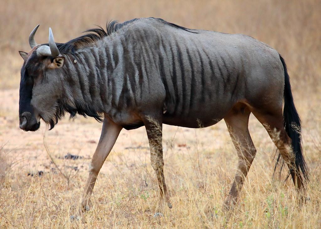 Antelopes. Blue Wildebeest. Kruger National Park. Kruger Shalati: The Train on the Bridge. South Africa. May/20201