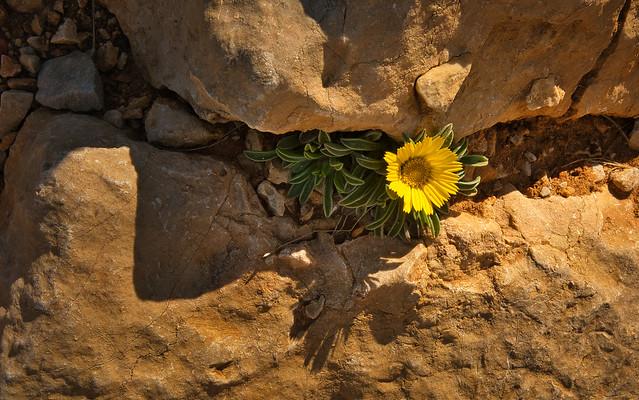 Fleur des Calanques