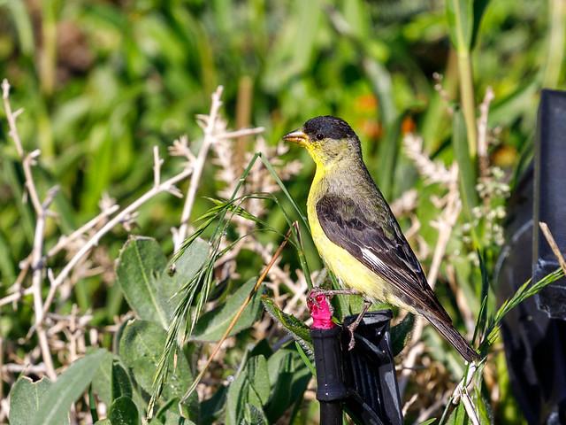 Lesser Goldfinch  4779