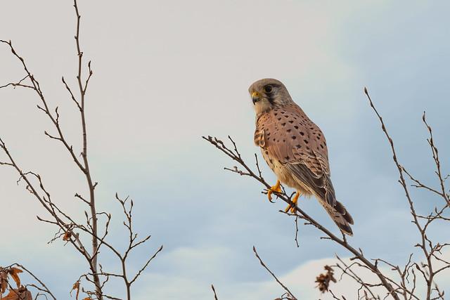 ♂︎ Comon Kestrel / Turmfalke (Falco tinnunculus)