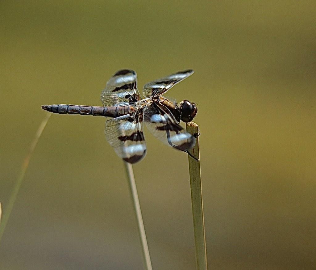 Banded Pennant Dragonfly Tinker Nature Park Henrietta, NY