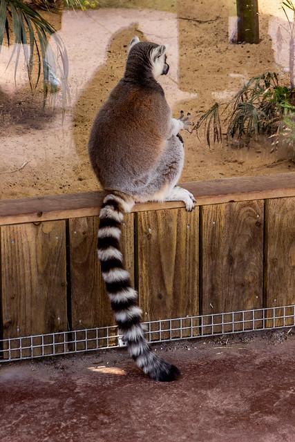 2021 - 06 - 19 - EOS 600D - Lemur - Chester Zoo - 001