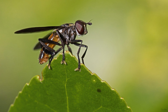 Feathered-legged Fly - Trichopoda pennipes