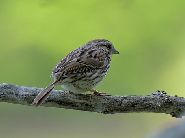 Must be a sparrow / Žvirblis, musėk