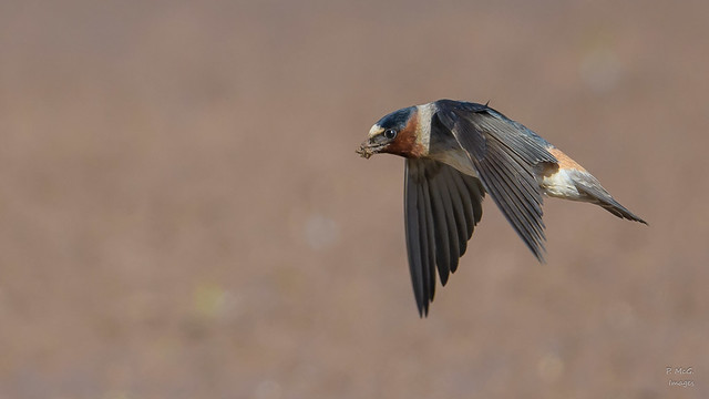 Cliff Swallow  0930