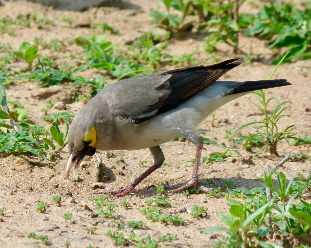 Wattled Starling (Creatophora cinerea) chasing termites ...